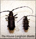 The House Longhorn Beetle, one of the varieties of beetle whose larvae cause woodworm in wood. Contact Tirconaill Damp Proofing for identification and treatment of woodworm